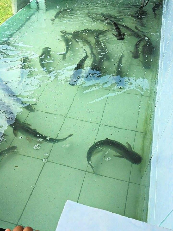 Ikan Patin